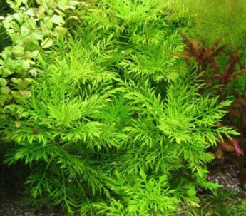 cabomba planten